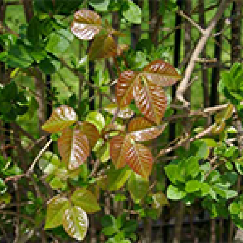 Urushiol Allergic Reaction (Poison Ivy, etc.)